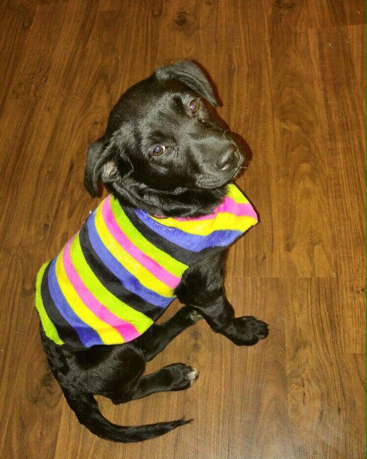 Desde McKinney, Tx. Sassy con su suéter Mascotti! Puede el tuyo de donde quiera que estés. ✈️