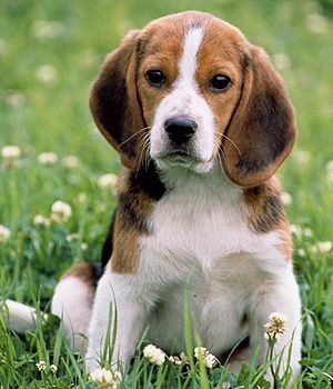 Beagle Price Temperament Life Span Beagle Dog Breed Cute