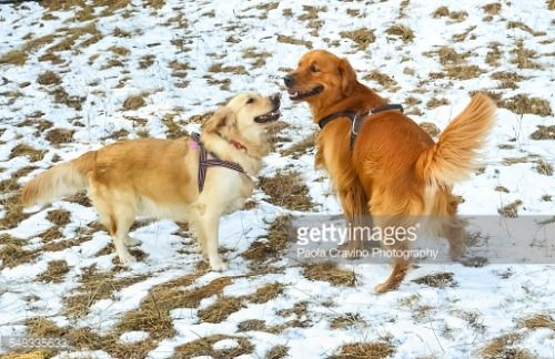 A Male And A Female Purebred Golden Retriever Showing Love And
