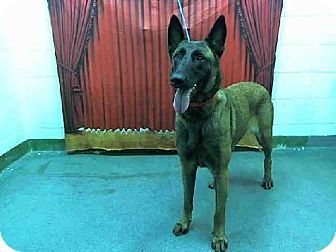 Miami, FL - Belgian Malinois. Meet SASHA a Dog for Adoption.