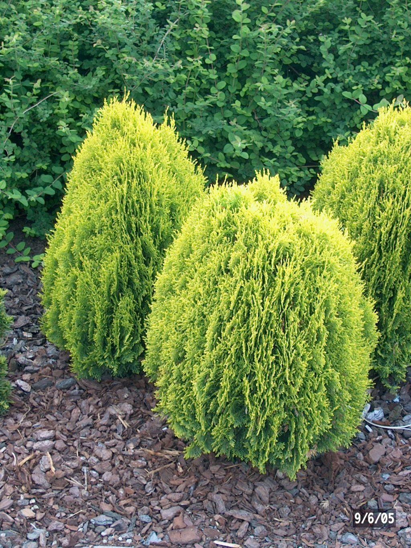 thuja orientalis 39 aurea nana 39 platycladus thuya d 39 orient jardinerie jardiland arbustes. Black Bedroom Furniture Sets. Home Design Ideas