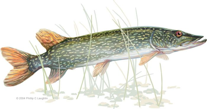 for Northern pike fish