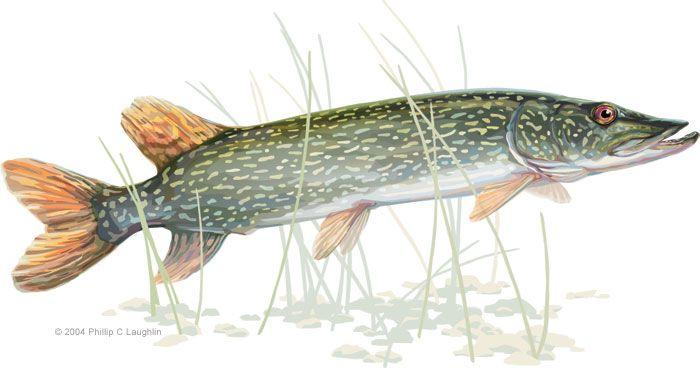 Http Www Plstudio Biz Wildlife Illustration Northern Pike Jpg