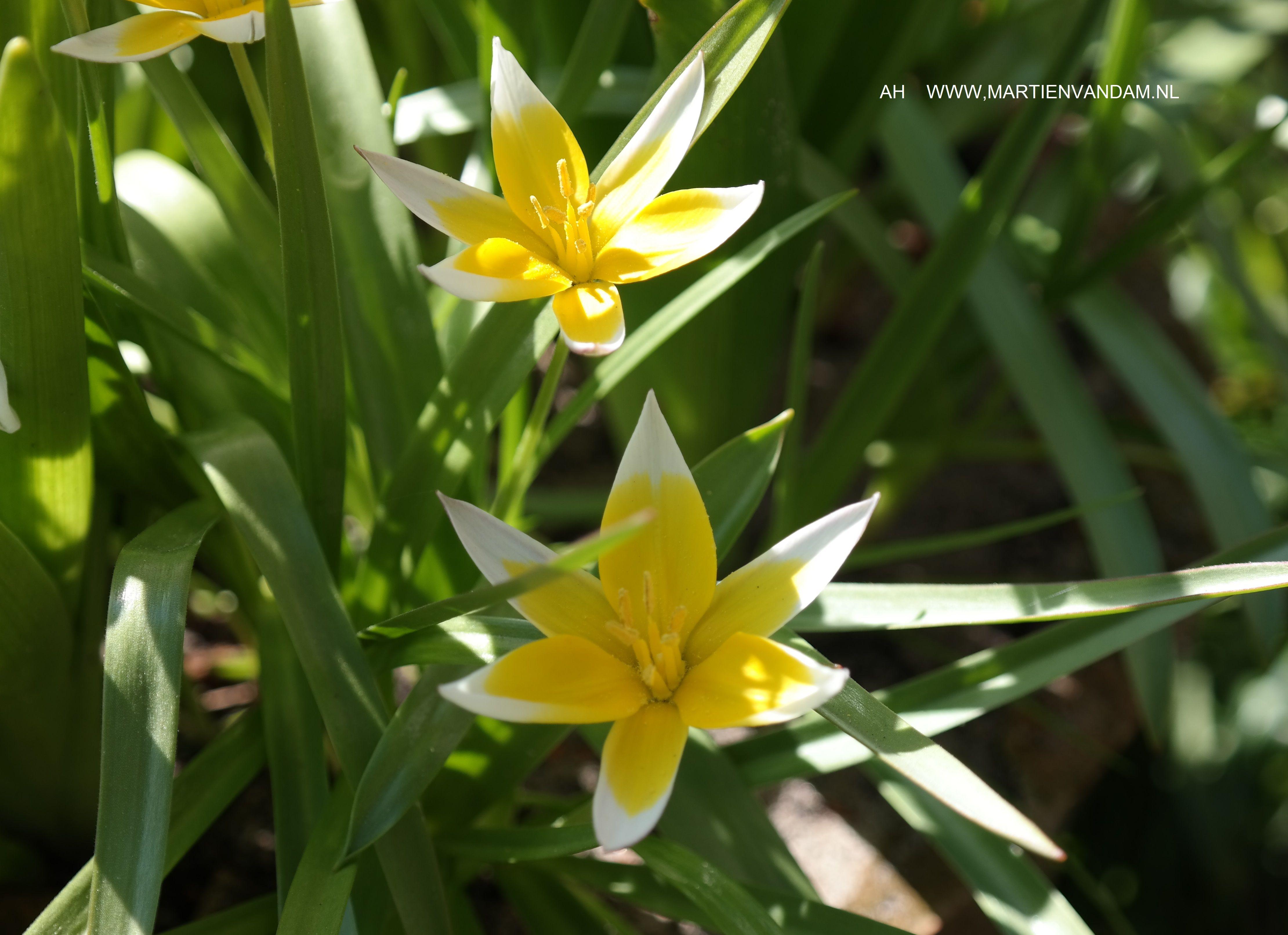 Tulipa tarda, verwilderingsbol ('gewoon' laten staan) opent zich in de zon en sluit 's avonds weer.