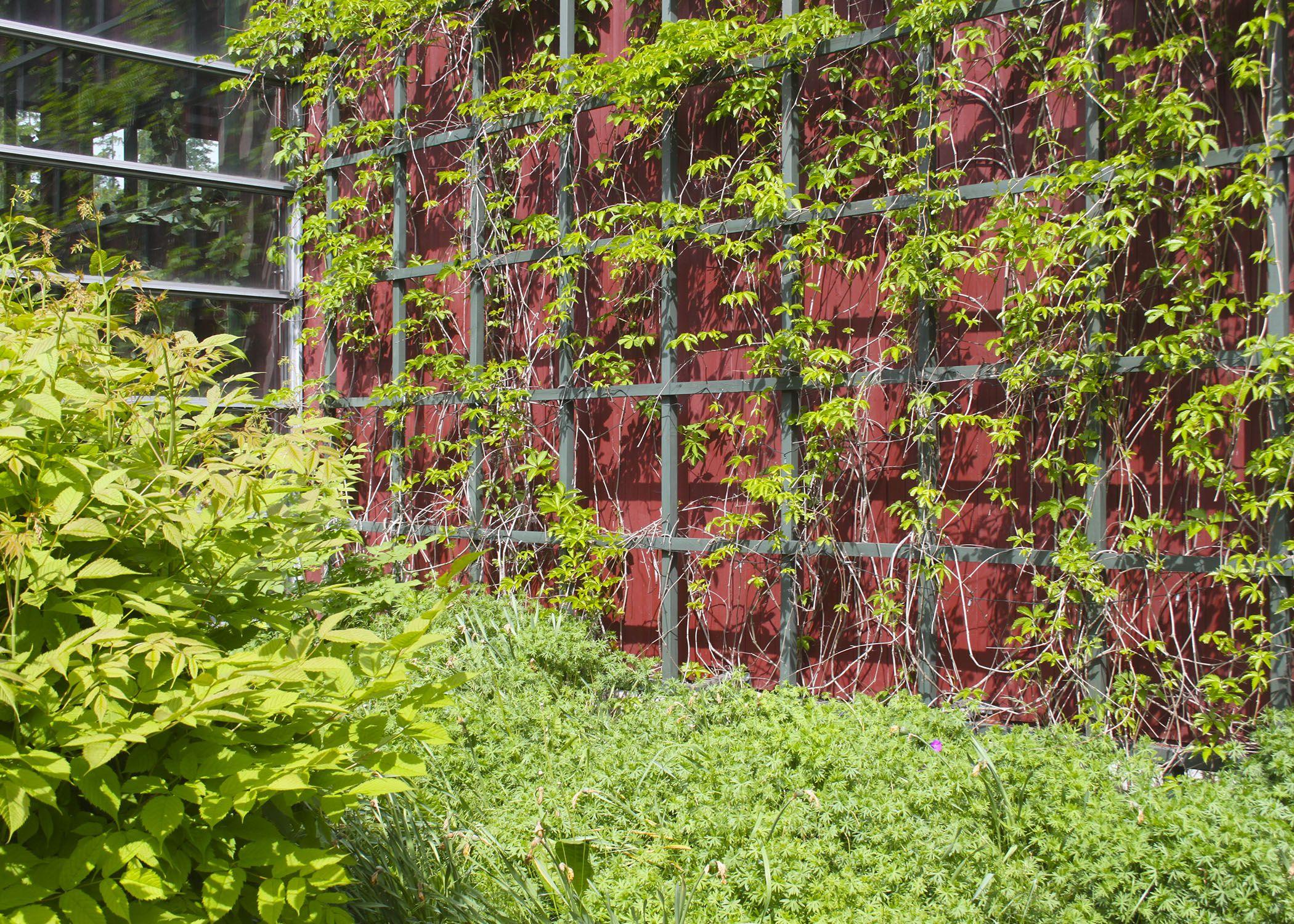 Villiviini kasvaa upeasti punaisella seinällä. Tähän tulee uusi terassi, jossa voi nauttia päiväkahvit hyvässä seurassa.