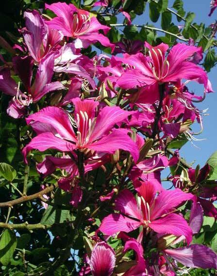 Piante tropicali a fiori profumati Bauhinia blakeana