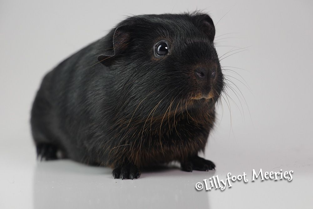 Pin On Baby Guinea Pigs