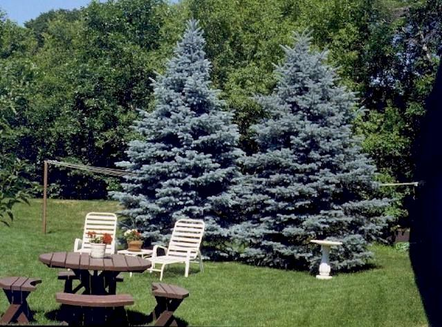 Spruce Baby Blue Eyes Dwarf Still Large So Leave Room For Them To Grow