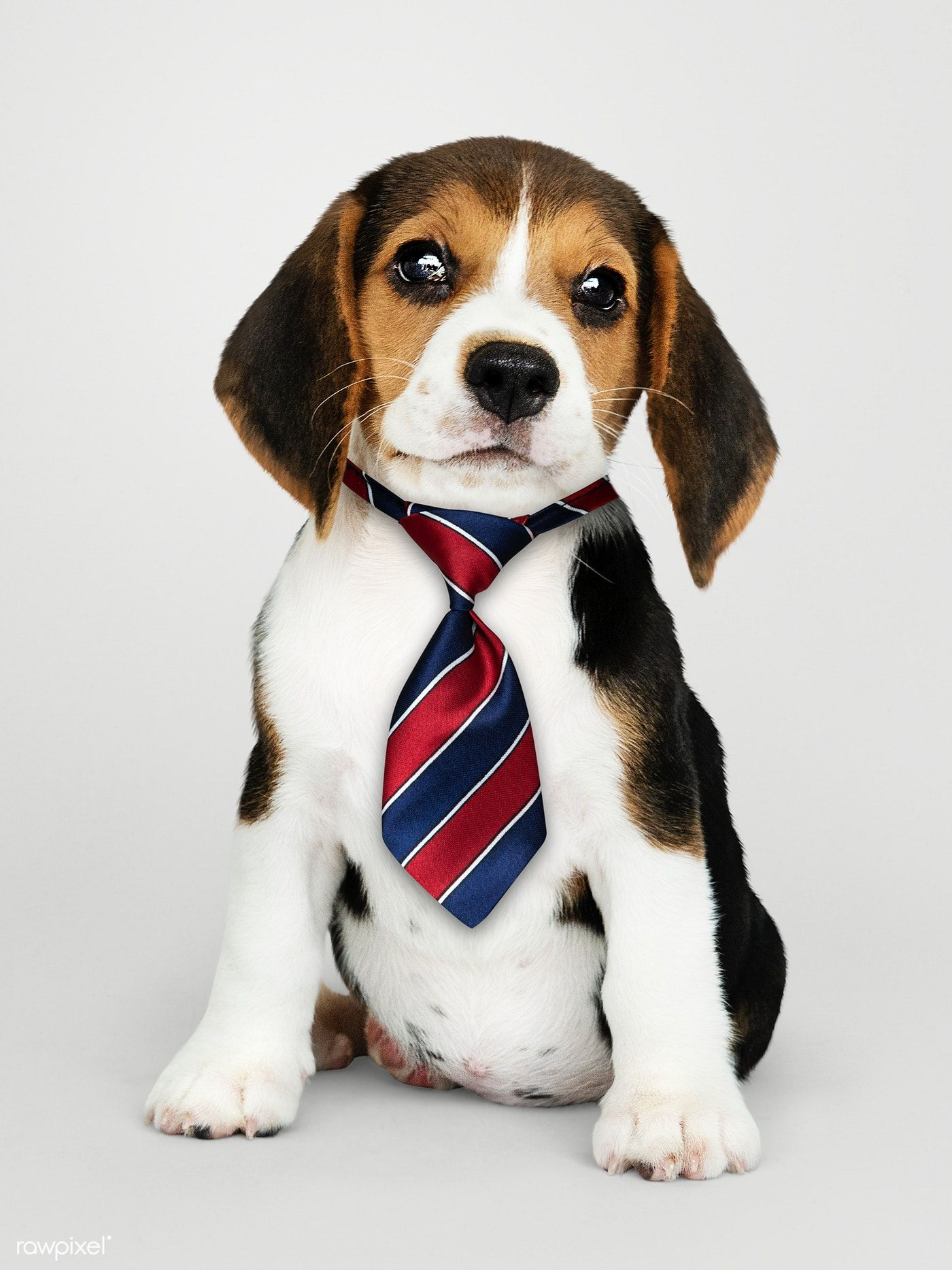Download Premium Psd Of Cute Beagle Puppy In A Red Blue And White Striped Cute Beagles Beagle Puppy Cute Baby Animals