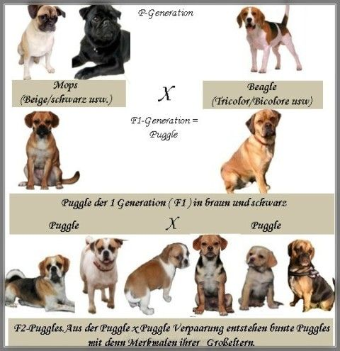 Puggle Mops Beagle Rasse