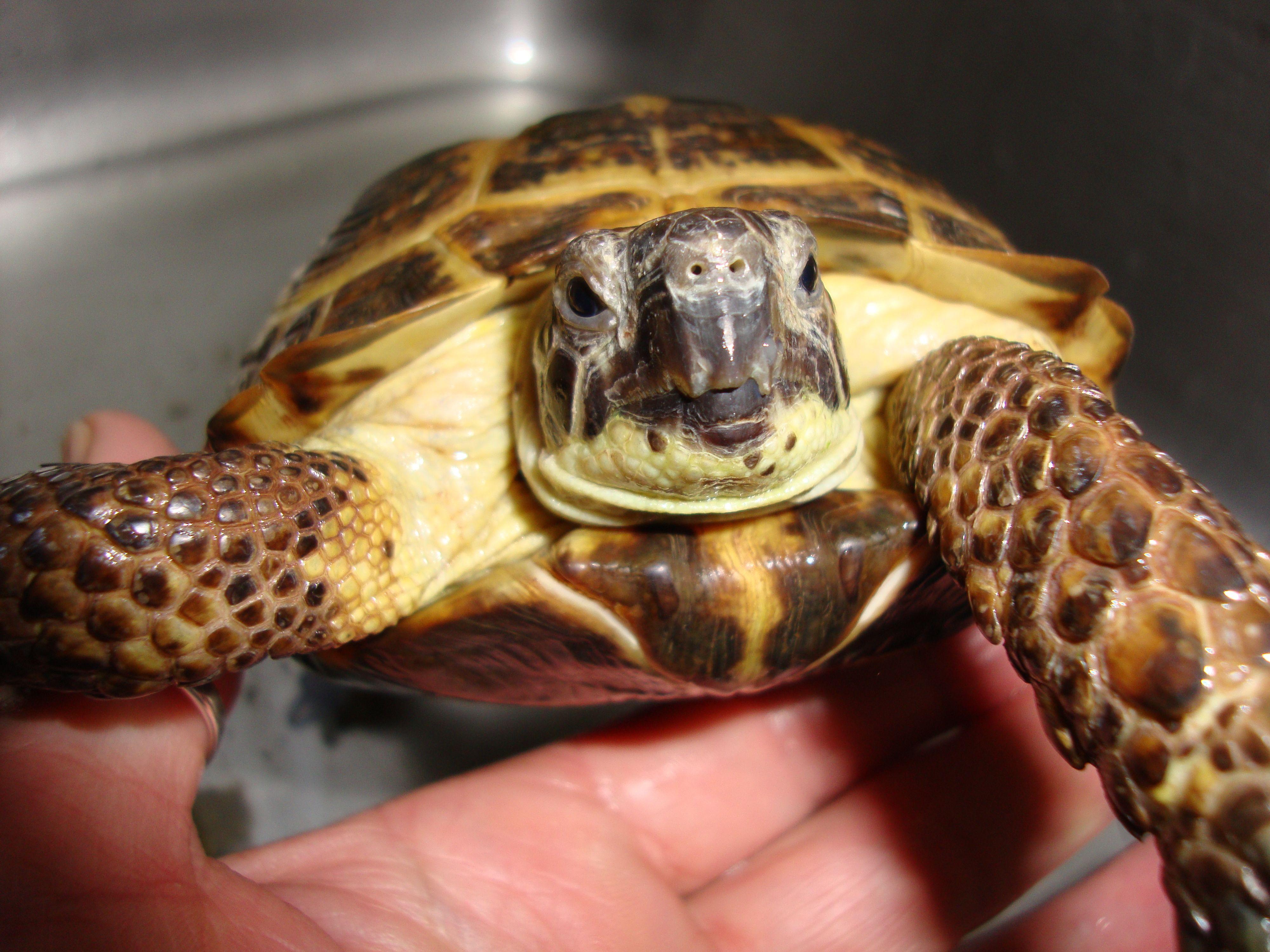 Bath time for Turbo. 1102015 Sulcata tortoise