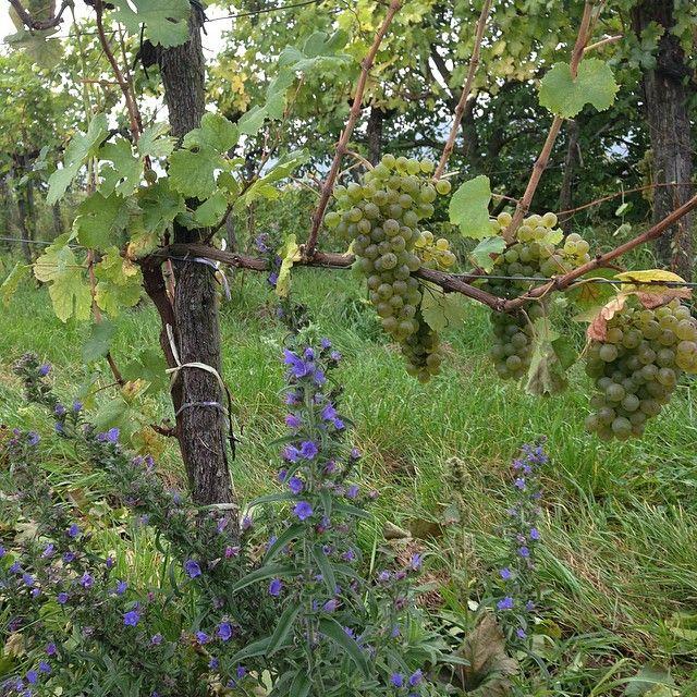 Gruner Veltliner at Schellmann winery #circovino #austrianwine #vineyards