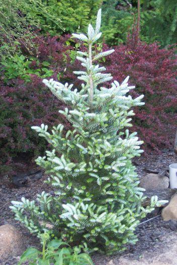 Abies Koreana Horstmanns Silberlocke Shrubs And Trees I Like