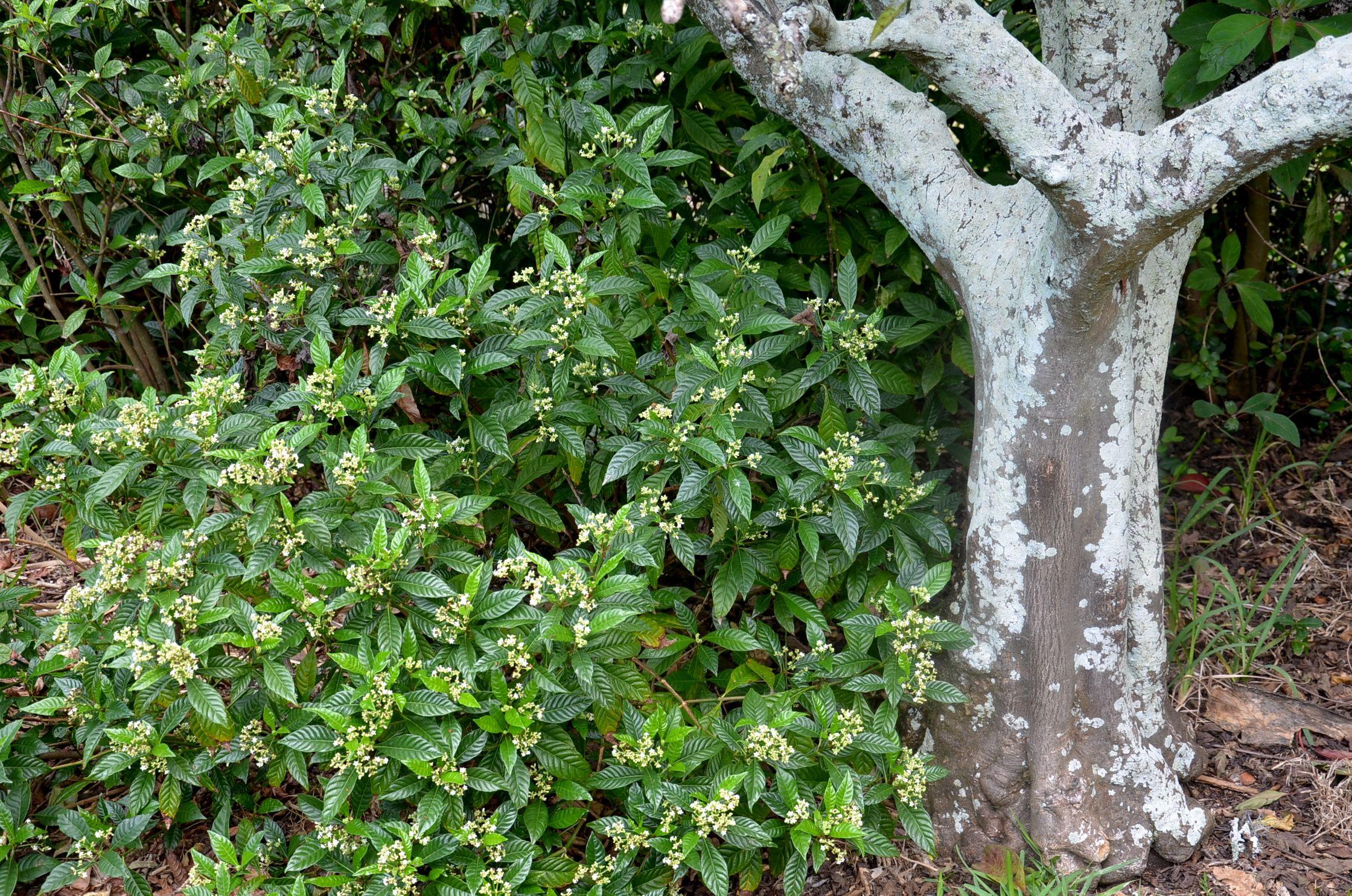 Wild Coffee   Shrubs   Pinterest   Shrub and Gardens