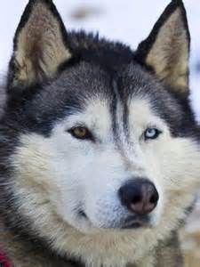 Alaskan Malamute Siberian Husky Mix One Blue Eye One Brown Eye