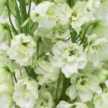 White delphinium flower delphinium flowers delphiniums and flower fiftyflowers white delphinium flower mightylinksfo