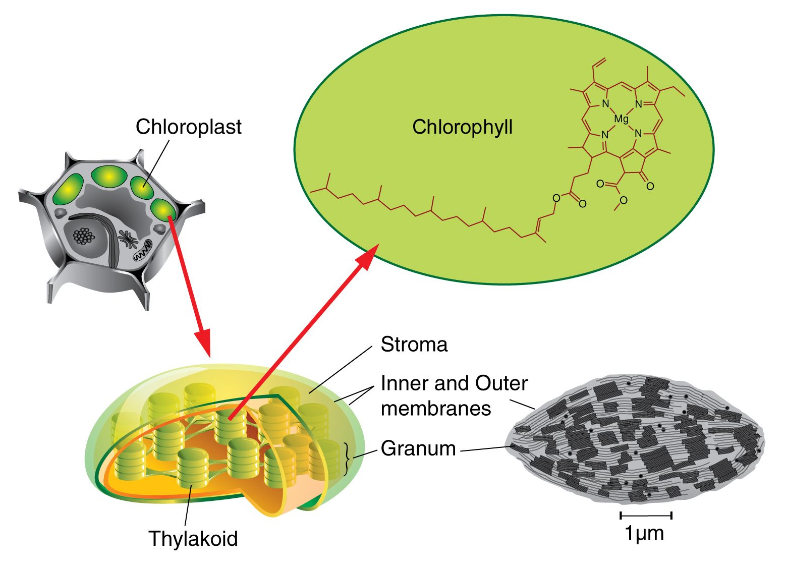 The Chloroplast Contains Fluid Many Ribosomes Are Found