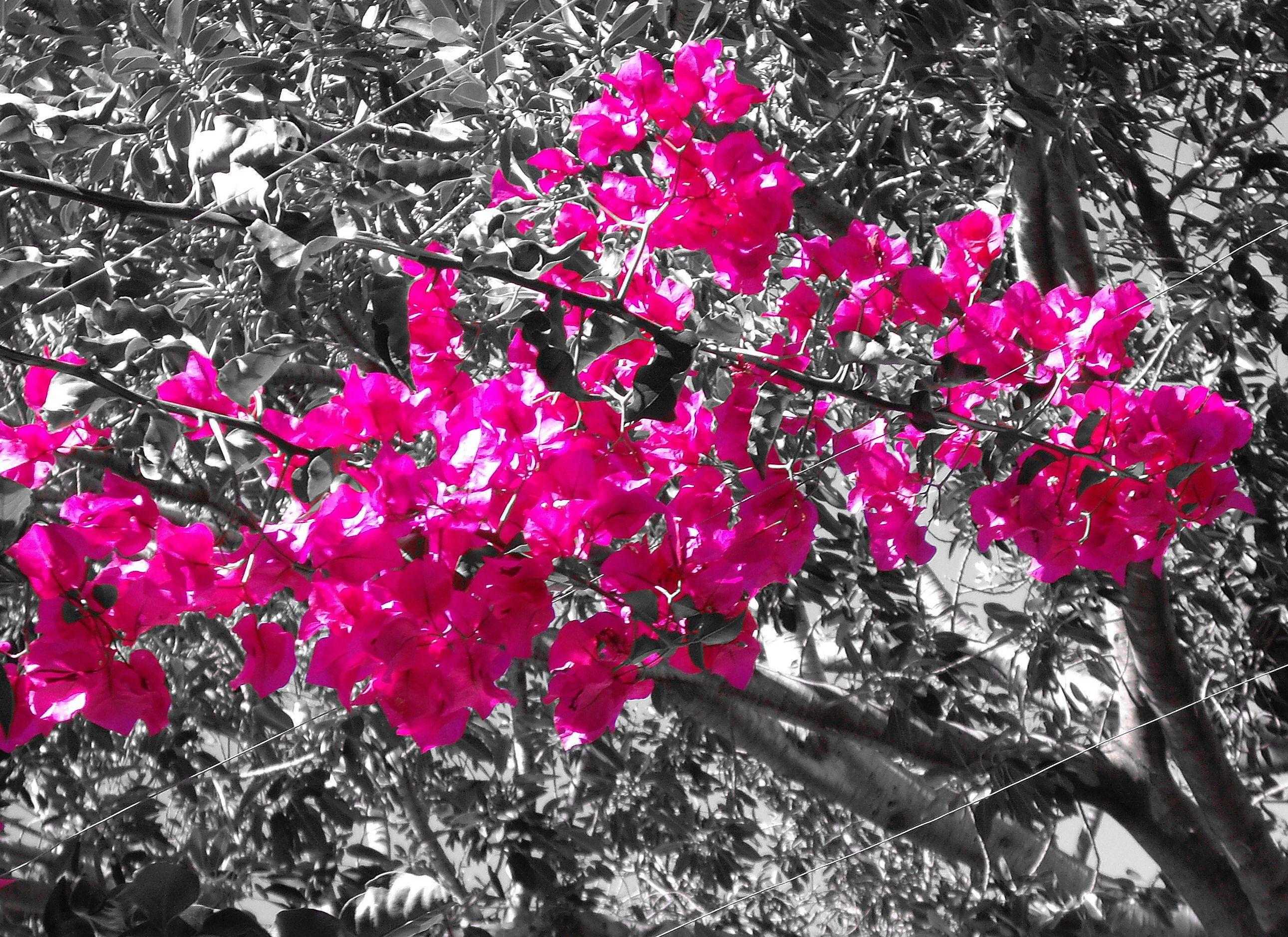 Shades of pink wikipedia the free encyclopedia splash of color shades of pink wikipedia the free encyclopedia mightylinksfo
