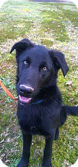 Washington Dc German Shepherd Dog Labrador Retriever Mix Meet