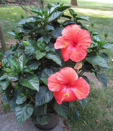 Hibiscus Cultivation Information Guide Hibiscus Plant Growing
