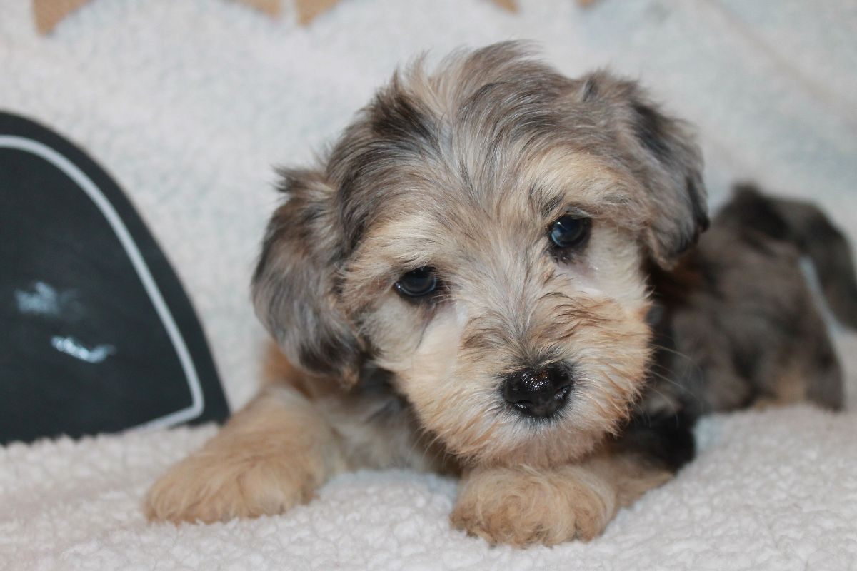 Puppies For Sale Yorkiepoo Yorkiepoos Yorkipoos F Category