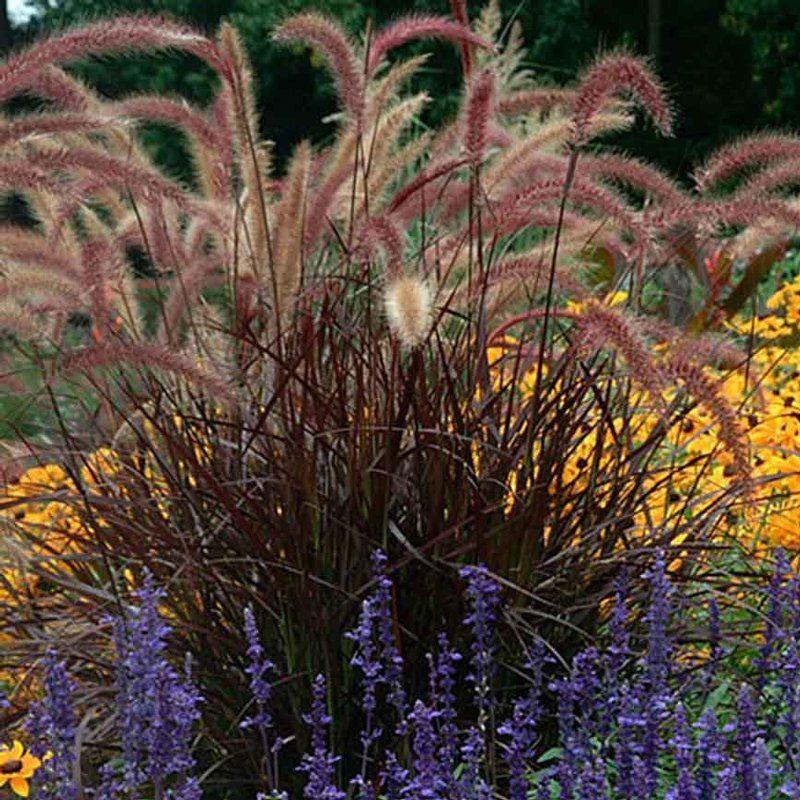 Pennisetum Rubrum Set Jardinage Urbain Amenagement Jardin