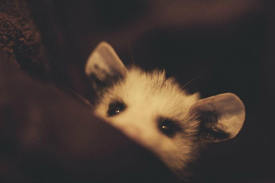 Opossums are not rats or even closely related to rodents ...