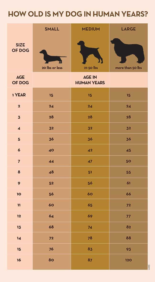 Your Dog S Age In Human Years A Conversion Chart Dog Years Dog