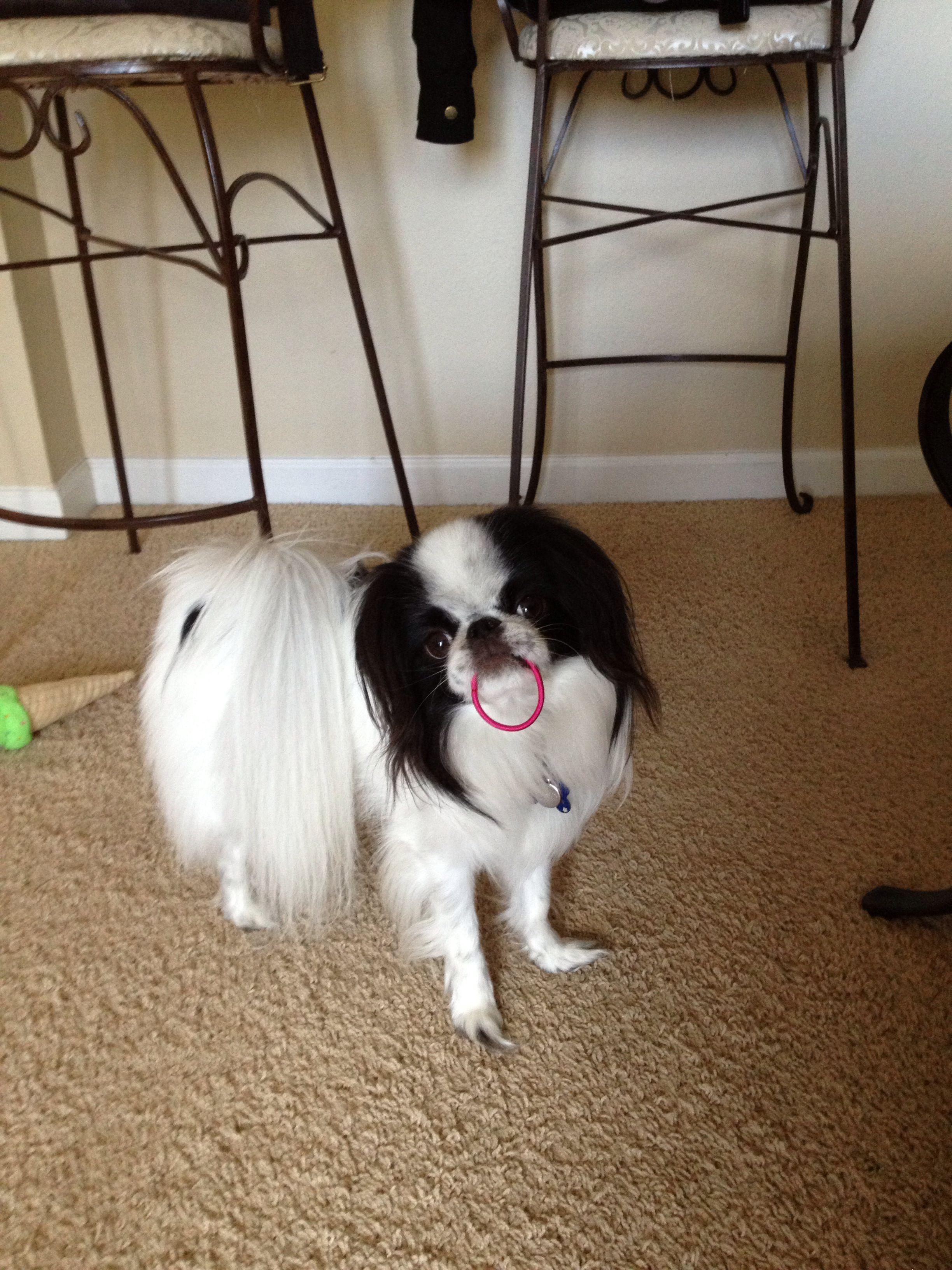 Jax Japanese Chin Chinese dog, Tibetan spaniel