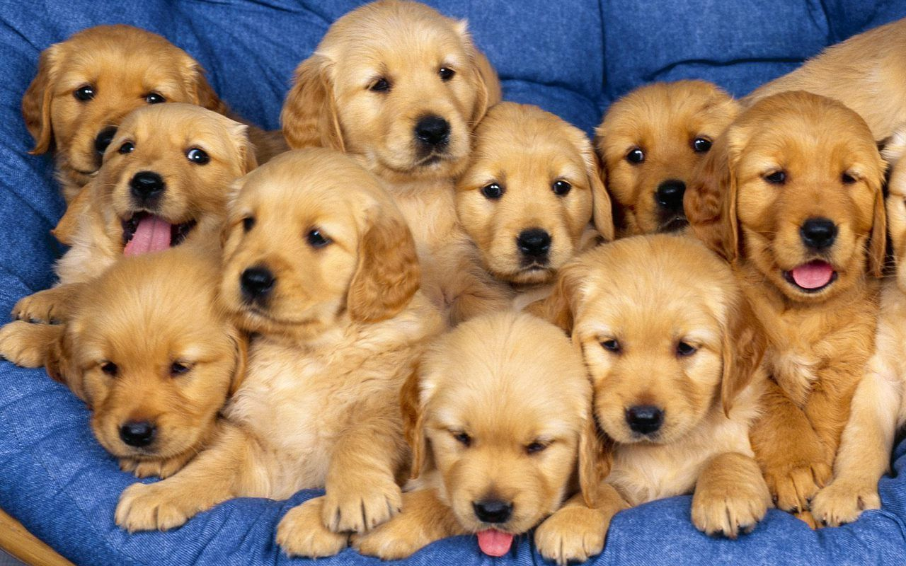 Cute Puppies Free Download Wallpapers Hd Retriever Puppy