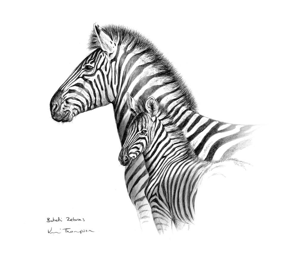 Drawings of zebras pencil drawings i draw this animals