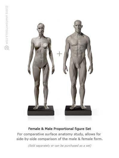 Fe|Male 1:6 Flesh/Anatomy v2 | 筋肉 | Pinterest | Anatomía ...
