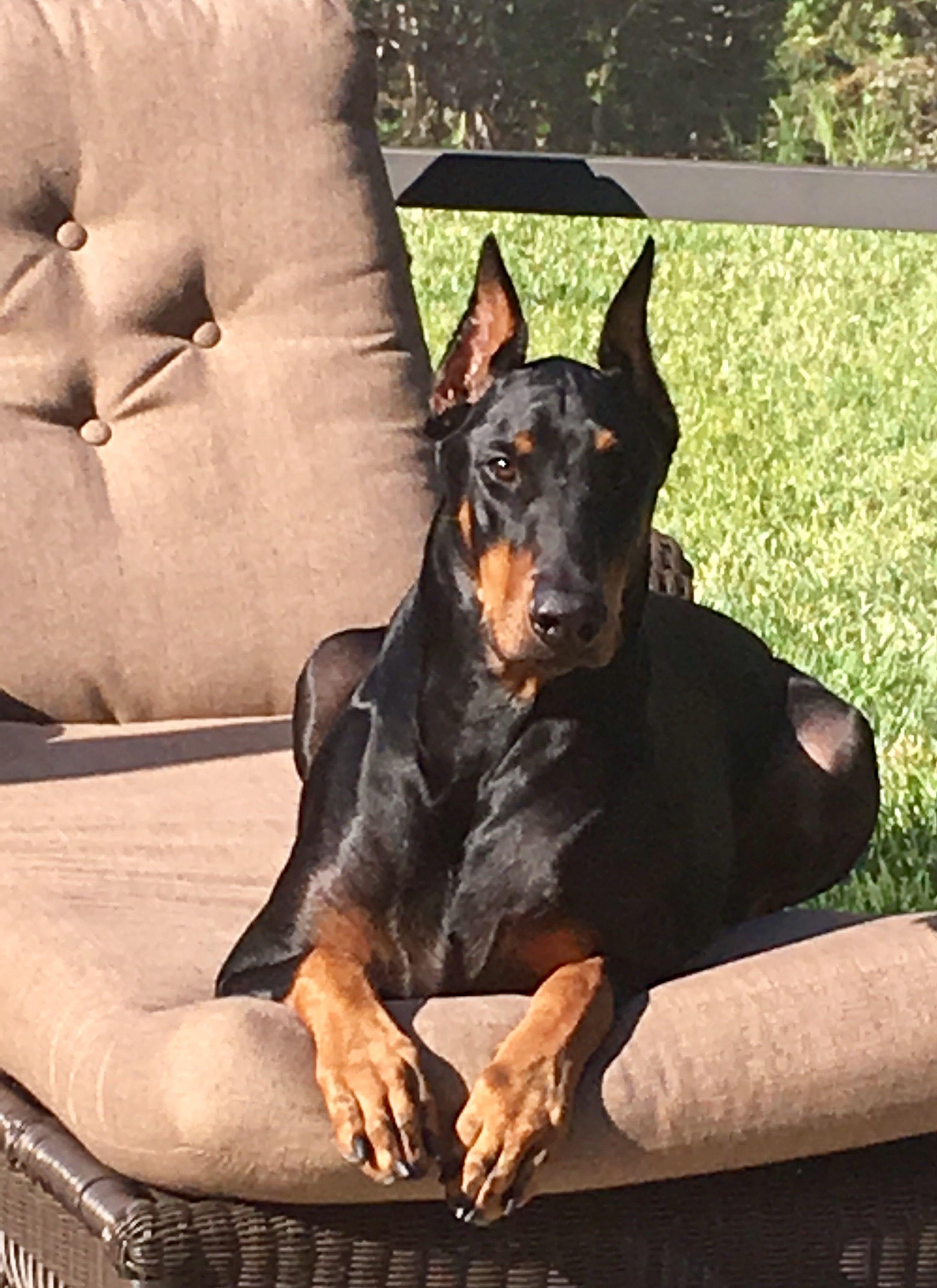 Doberman Pinscher Dog Breed Information Doberman Pinscher