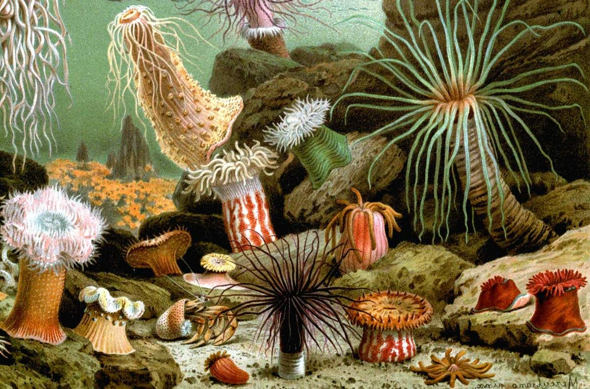 Картинки по запросу актинии | Анемоны, Водные животные ...