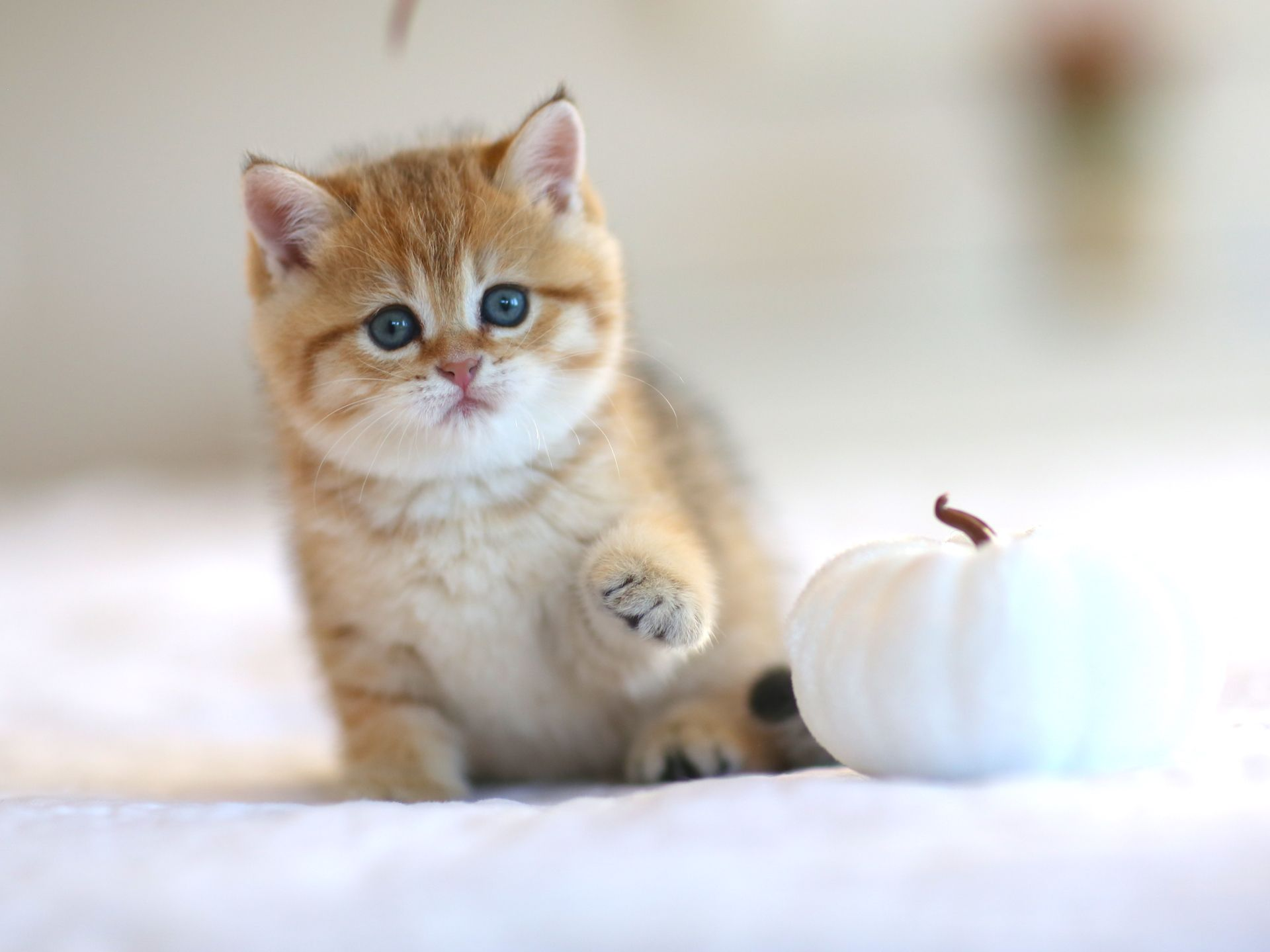British Shorthair Kitten For Sale In Usa Jerry Lorettabritish Black Golden Shaded Color With G British Shorthair Kittens British Shorthair Cats Kittens Cutest