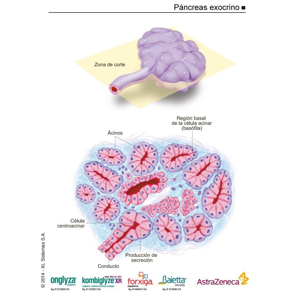 Pin De Adriana Andrade En Diabetes Materiales Didacticos Didactico Celulas