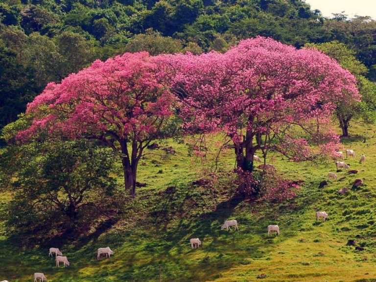 How To Grow And Care For A Silk Floss Tree Ceiba Speciosa World Of Succulents Blooming Succulents Deciduous Trees Succulents
