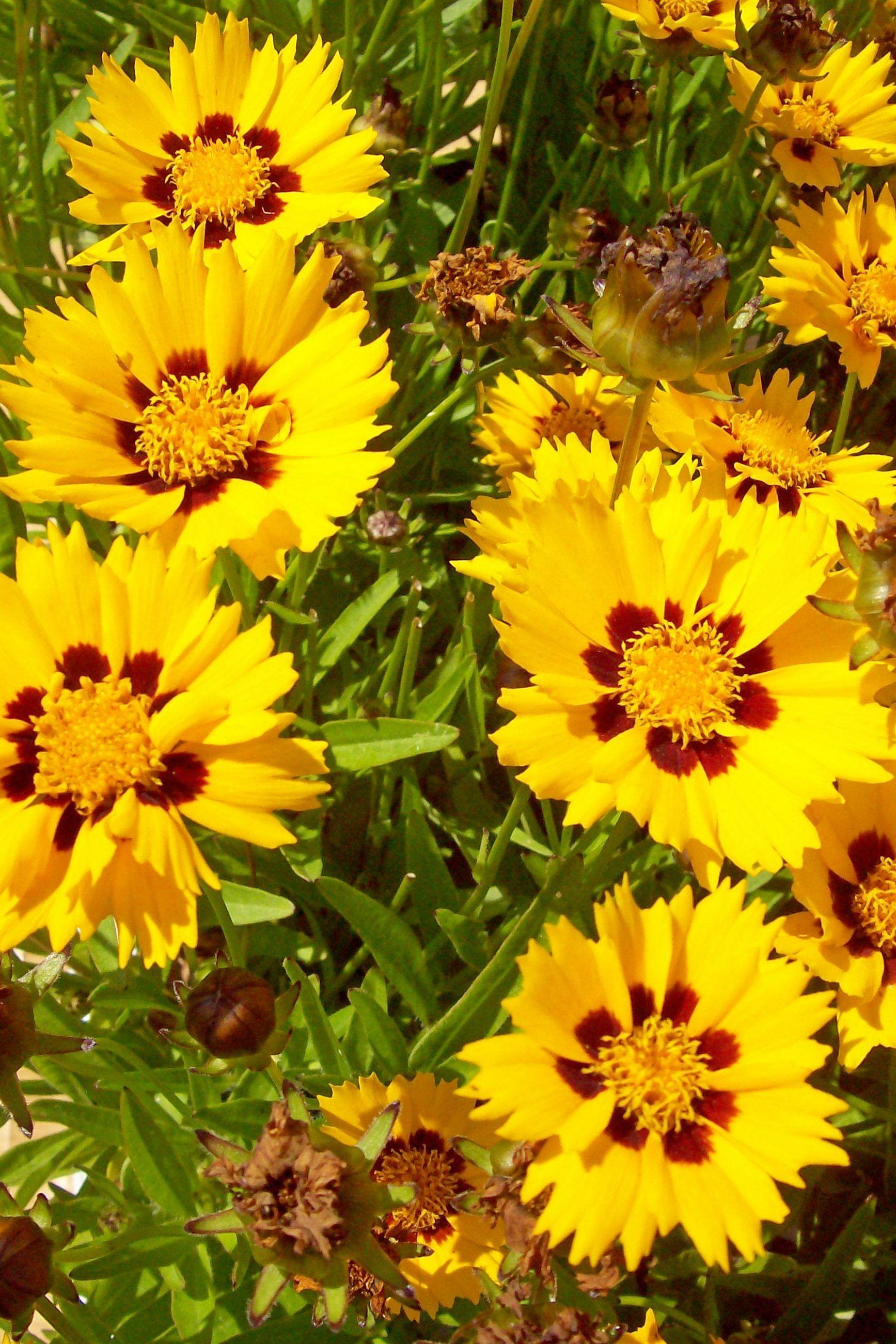 Coreopsis Grandiflora Sunfire Persi Floraison Jaune
