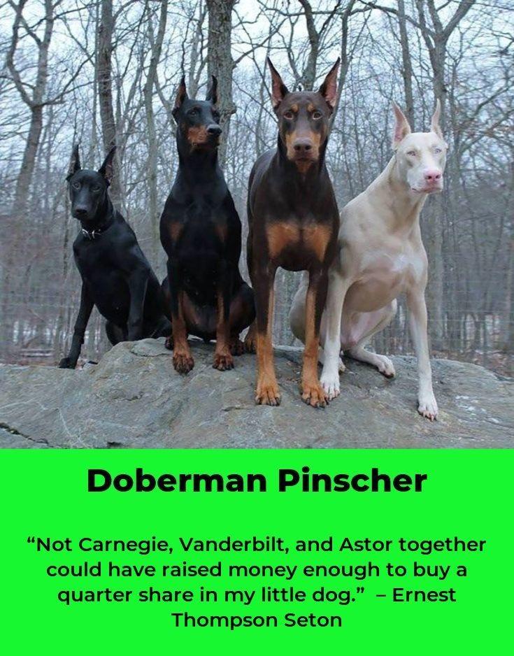 Doberman Pinscher Dobermanpride Dobermanlover Doberman