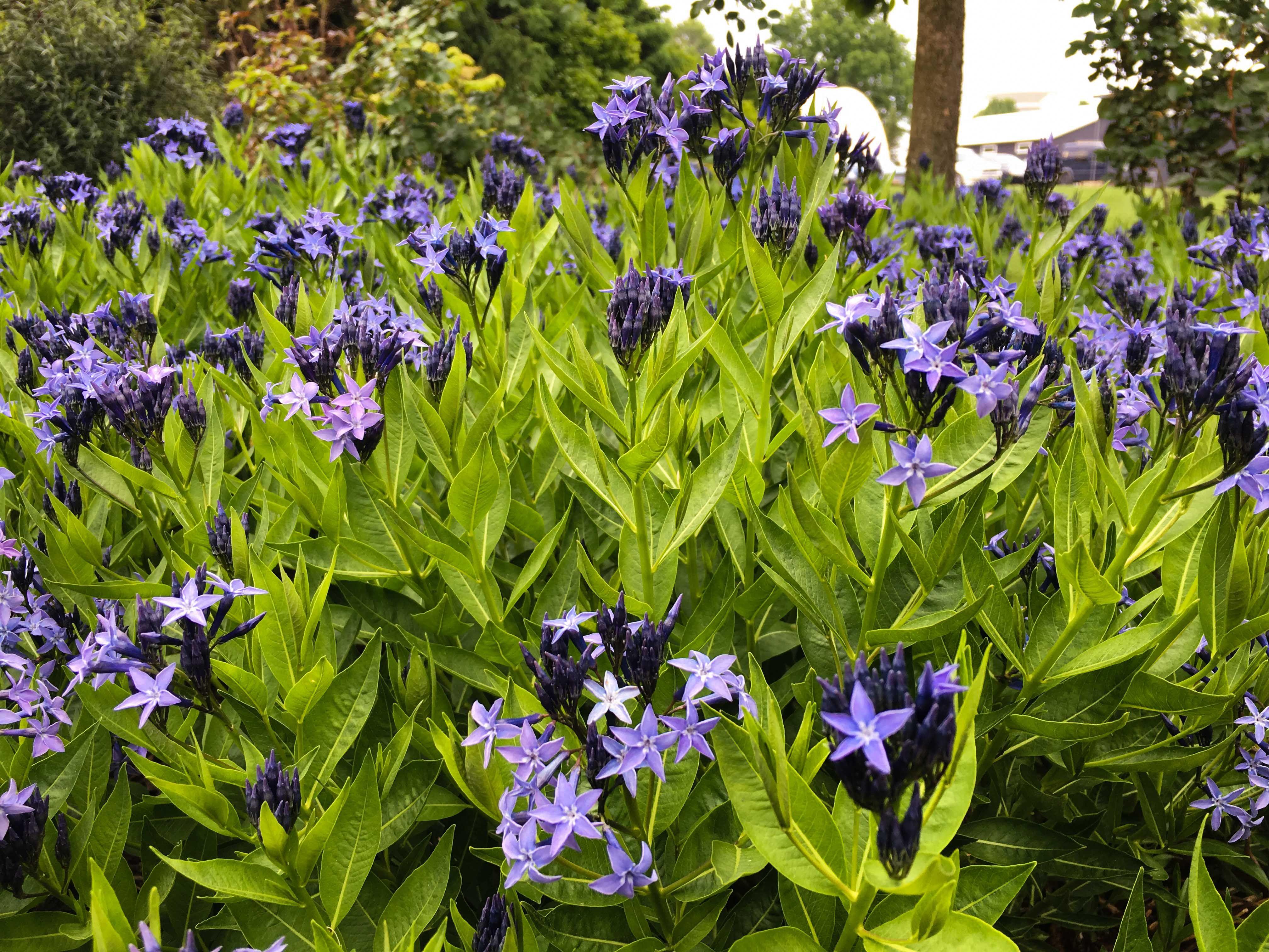 Plant Id Amsonia Thinking Outside The Boxwood Amsonia Blue Ice