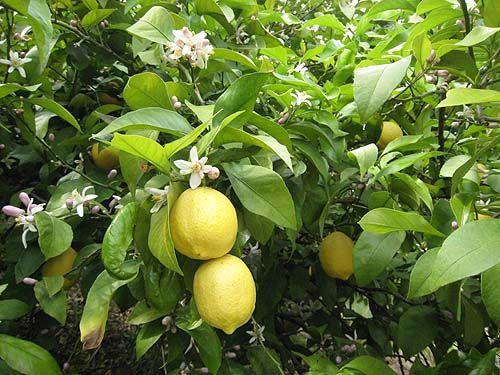 園 の ま 果樹
