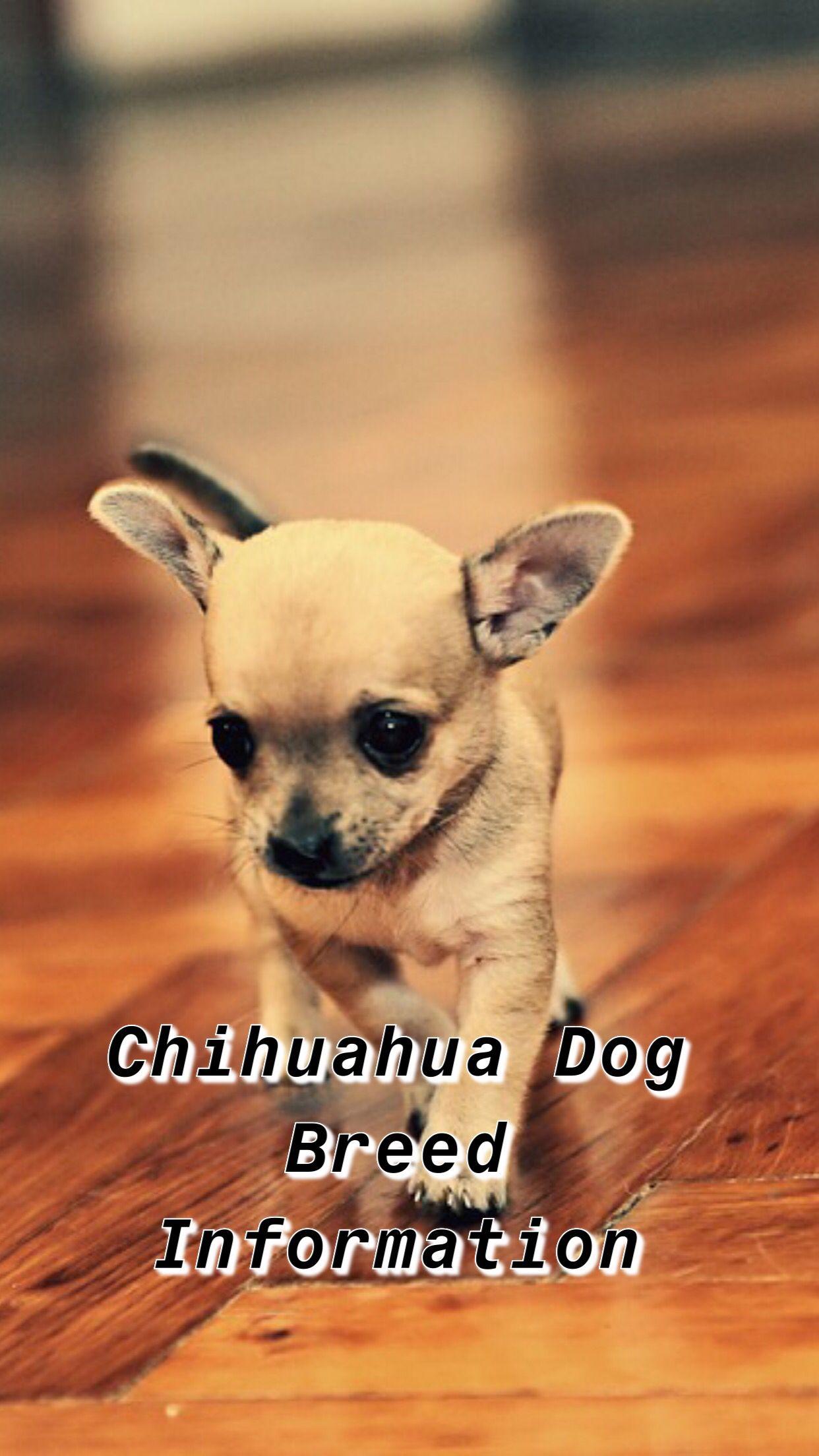 Chihuahua Dogs Chihuahua Quotes Chihuahua Funny Chihuahua Deerhead