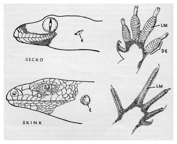 Heads And Feet Of Gecko And Skink Note Difference In Shape Of