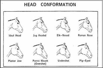 Head Conformation Horse Anatomy Horse Care Horse Camp