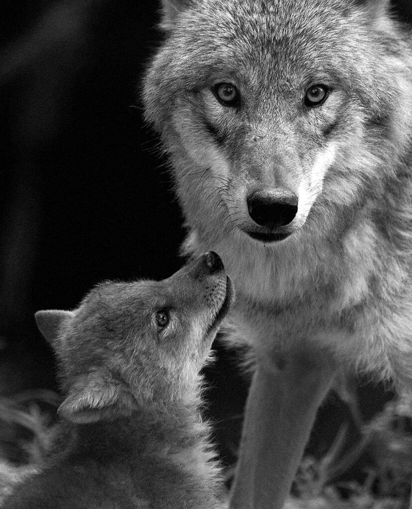 67b9318c7004a Mother Wolf and Her Baby. | Wolfies YaY! | Baby wolves, Wolf, Wolf pup