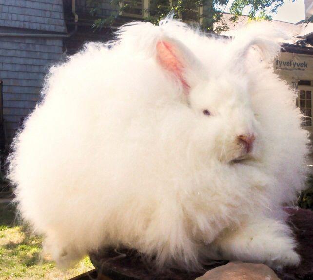 fluffiest rabbit ever s248de dyr pinterest dyr