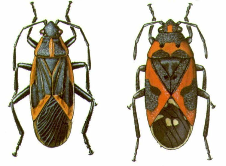 Box Elder bugs are sometimes confused with another insect called Milkweed Bug