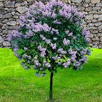 Dwarf Korean Lilac Tree Exterior Pinterest Lilac