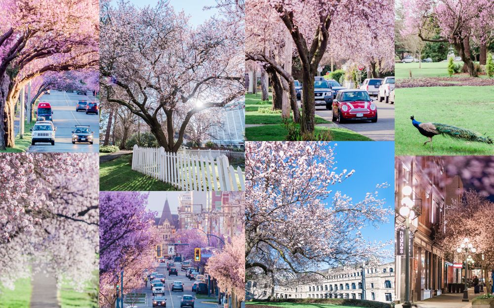Your Guide To The Best Spots To See The Blossoms Victoria Buzz Pretty Trees Artificial Flowers And Plants Cherry Blossom