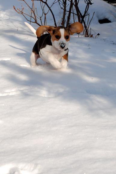 Beagles Howling Cute Beagles Beagle Puppy Cute Animals